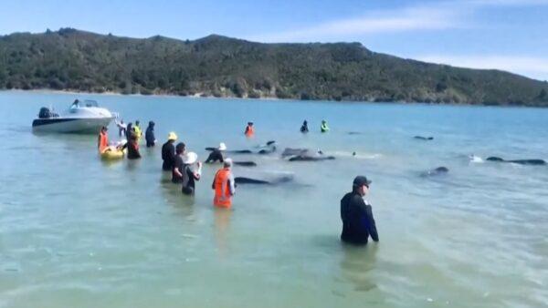 领航鲸搁浅 新西兰保育人士抢救