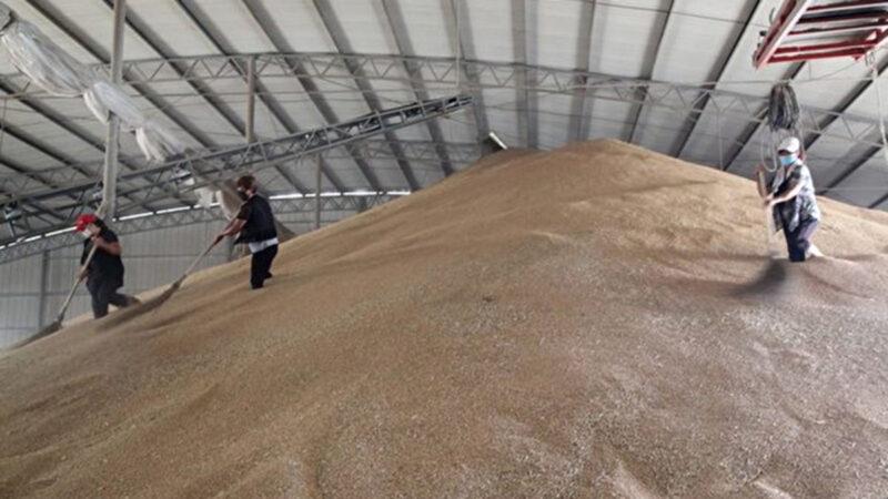 大陆又现毒大米 广东国粮购入近2600吨镉大米