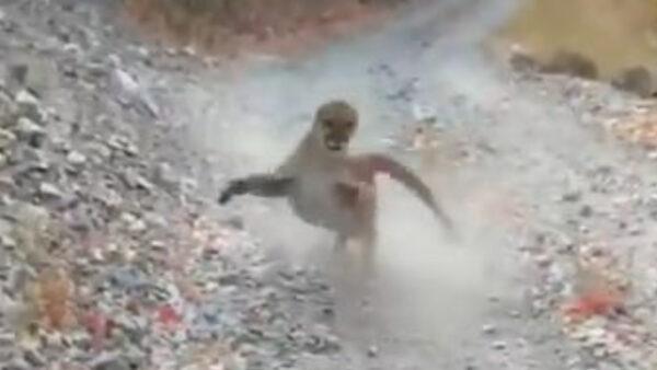 生死6分钟 登山男误逗幼狮 与母狮惊恐对峙