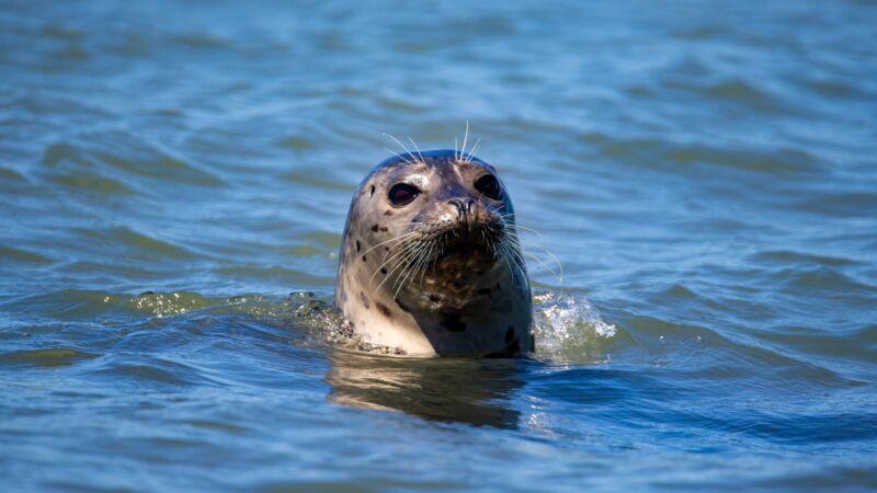 10年情谊感人 灵性海豹双目失明仍天天赴约会渔夫