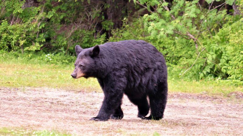 河南馴獸師遭黑熊撲咬無大礙 揭熊牙早被鋸掉