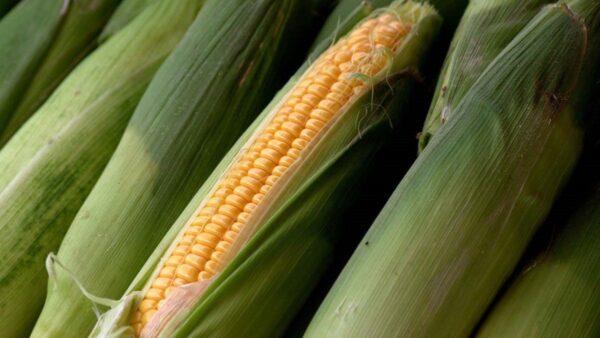 张慧东:中共为何要求减少玉米大豆用量?