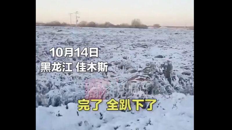 黑龙江多地降雪 压倒成熟水稻愁坏农民