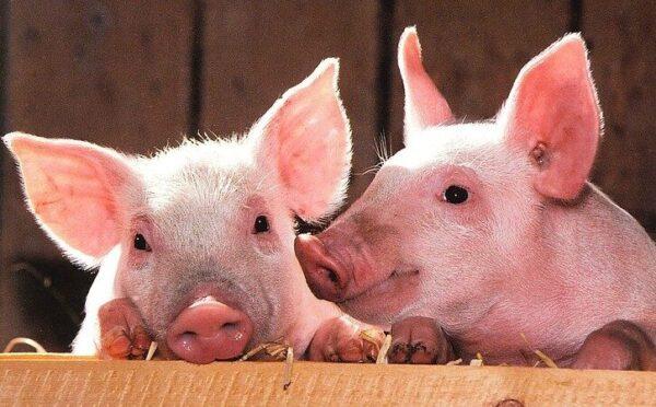 疫情源头在哪?中共从德国猪肘甩锅北美猪头