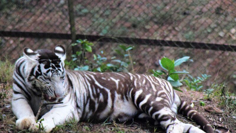 全球剩不到10隻 極罕見「黑老虎」印度現蹤