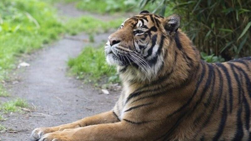 中共官员偷吃老虎、狮子肉   动物救护中心变屠宰场