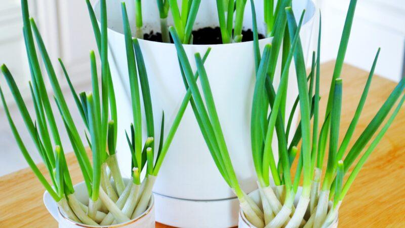 【美食天堂】2種快速種植蔥的方法 水培和土壤種植哪個更快?