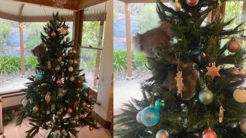 圣诞节礼物:圣诞树上发现野生考拉 独特的圣诞歌