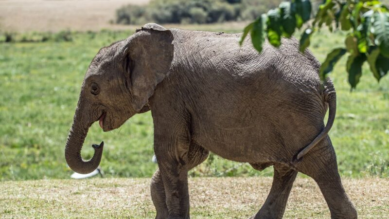 「感動到差點哭了」 泰男CPR救活昏迷小象