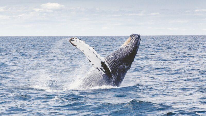 鯨魚吞下潛水員 愣3秒立刻吐掉:吃錯了(視頻)