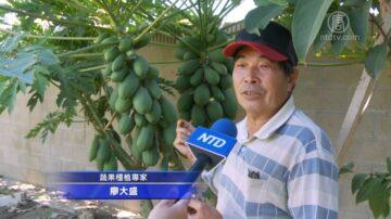 木瓜健脾促消化 种植专家:注意浇水保暖