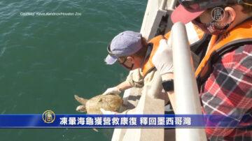 冻晕海龟获营救康复 释回墨西哥湾