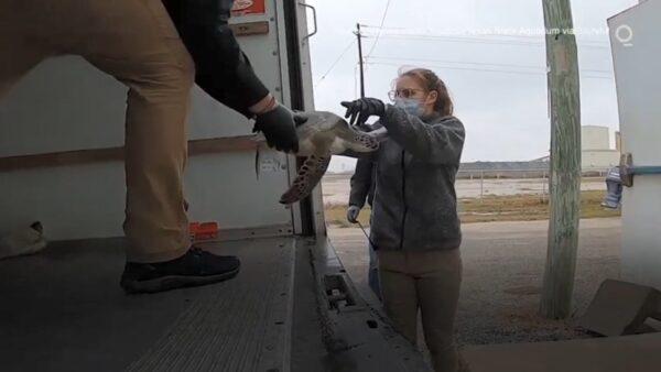 德州暴风雪 志工抢救数千只被冻晕海龟