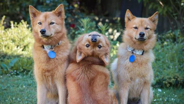 新西蘭狗狗拍合照 獨特回眸姿勢火遍全網