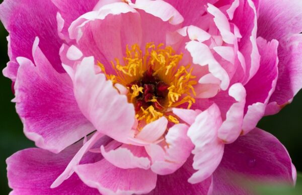 牡丹花仙子的神話傳說