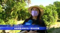 南加果园开放摘橙子 活动所得全数做公益