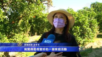 南加果園開放摘橙子 活動所得全數做公益