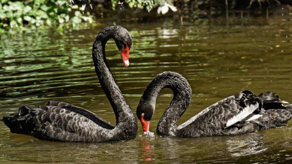 北京圓明園爆疫情 3只黑天鵝死亡