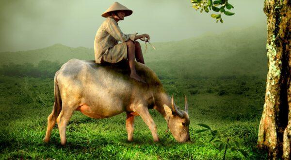 這隻牛還清了3個人的債務糾紛 牠是怎麼做到的?