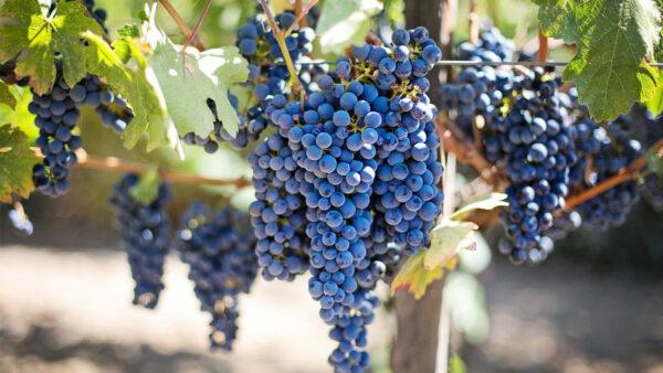 回应中共增税 澳农业部长: 将大力捍卫葡萄酒行业