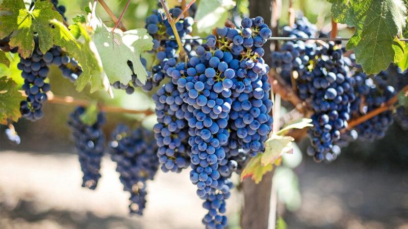 回應中共增稅 澳農業部長: 將大力捍衛葡萄酒行業