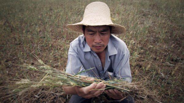"""中共给农民""""送大礼"""":粮食收购价再涨一分钱"""