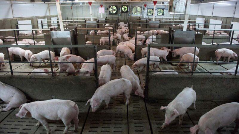 種子之外還有「豬芯片」 中國種豬9成靠引進