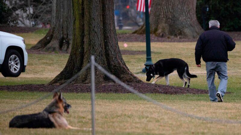 """拜登""""第一狗""""咬伤保安 被赶出白宫"""
