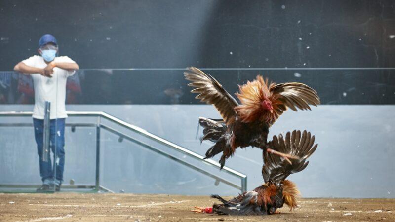 罕見:印度男子鬥雞 被雞「揮刀」斬殺