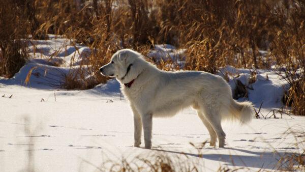 加國女散步突然倒地 忠犬冒死「攔車」求救