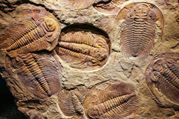 新研究:5.4亿年前的三叶虫用腿呼吸