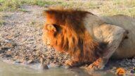 獅子喝水被小烏龜「強吻」 結果獅王被嚇跑(視頻)
