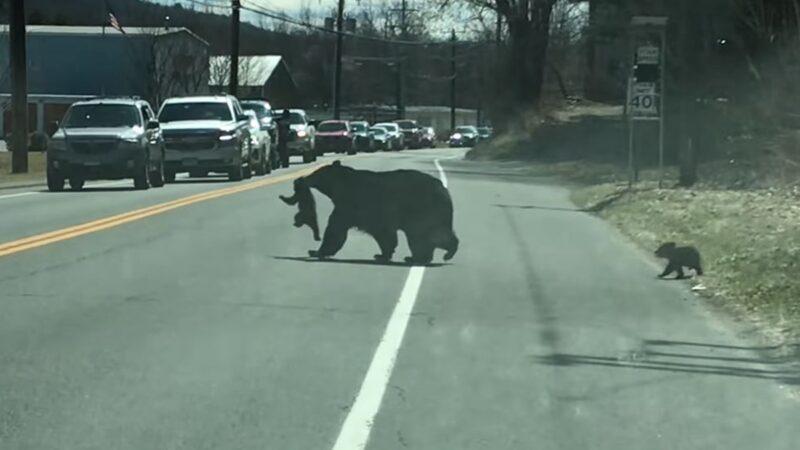 """熊妈妈带4只""""熊孩子""""过马路 搞笑视频火爆全网"""
