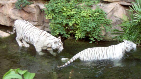 秦始皇「點睛成虎」 兩隻玉虎變獨眼白虎逃離皇宮