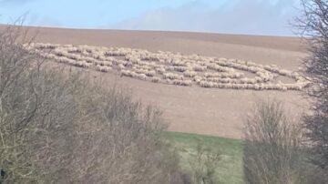 羊群集體被催眠? 英國出現詭異「綿羊圈」