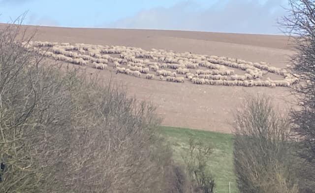 """羊群集体被催眠? 英国出现诡异""""绵羊圈"""""""