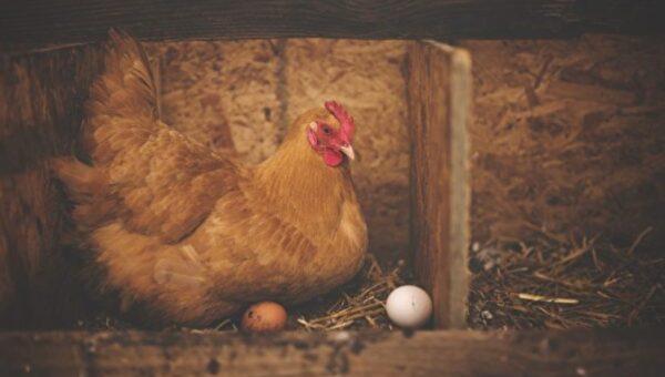 美国农夫说 鸡蛋要这样摆放才能保持新鲜