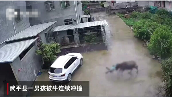福建男童惹恼牛遭追撞 躲车底喊:对不起大哥(视频)