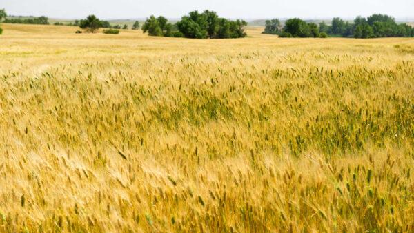 玉米價格飆升小麥成飼料 全球貿易流向大變