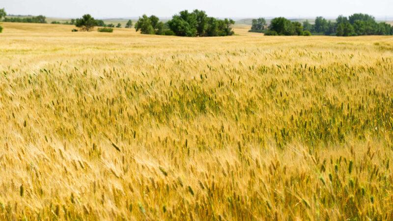 玉米价格飙升小麦成饲料 全球贸易流向大变