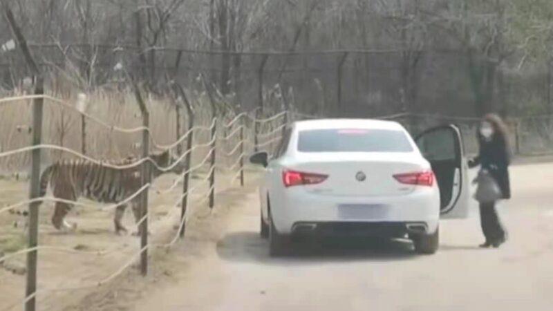 北京猛兽区女游客下车 网友怒:又给老虎送外卖?