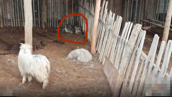 新疆雪豹夜闯羊圈咬死19只 吃饱后呼呼大睡(视频)