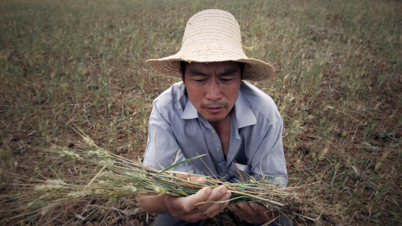 中共农业官员:极端天气病虫害 今年年景又不乐观