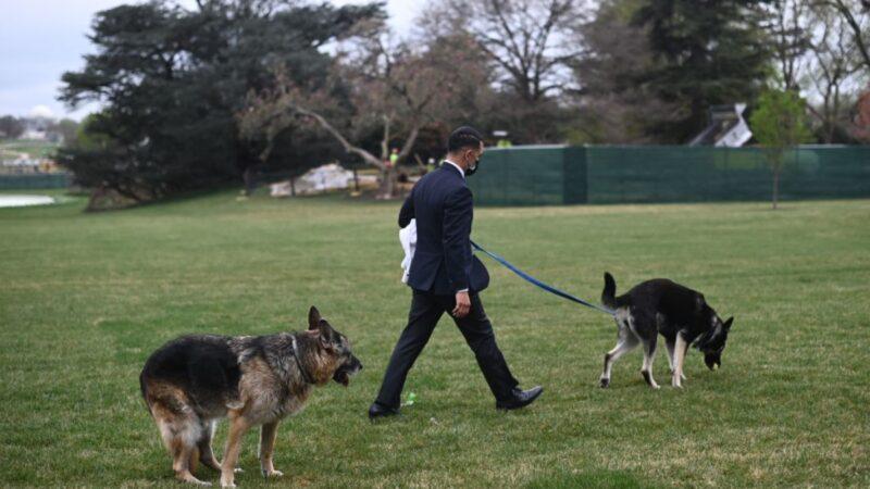 拜登爱犬刚返回白宫 再次咬人