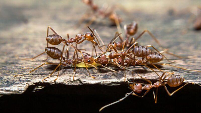 红火蚁入侵中国12省 广东妇女被咬至休克