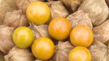 日本「燈籠果」限量上市 酸甜好滋味