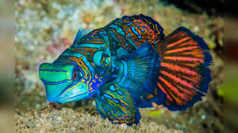 漂亮的七彩麒麟魚 為何不能觸摸?