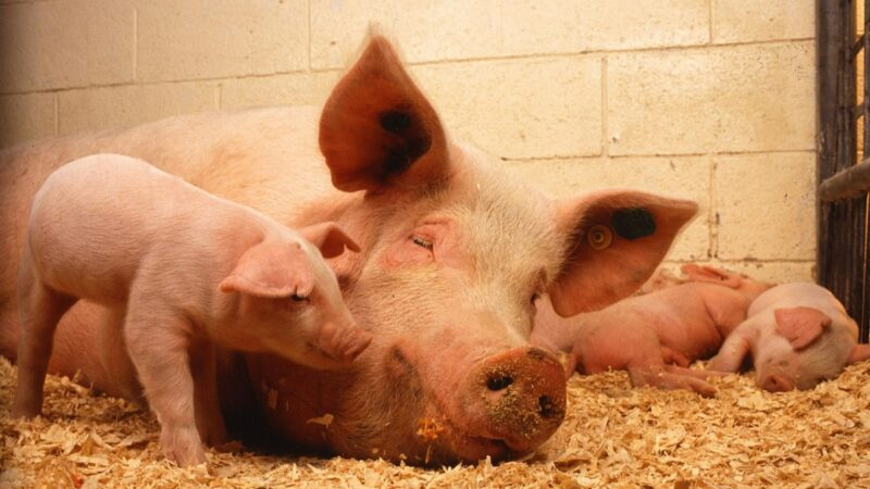 路透:非洲猪瘟今年首季重创中国北方 或蔓延南方