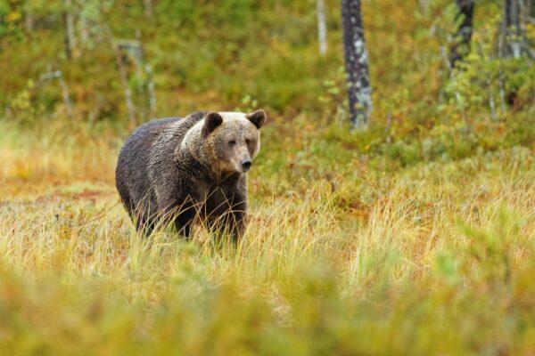 遭饿熊尾随1公里 男子使出这招逃离熊爪