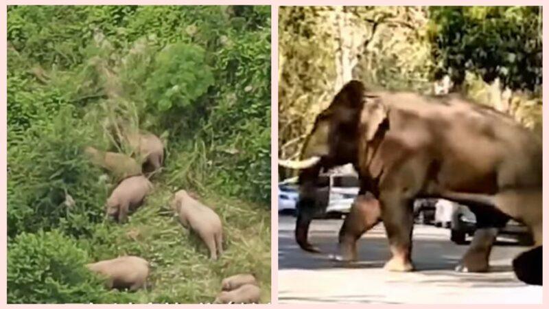 云南野生象群一路北上500公里 逼近昆明(视频)
